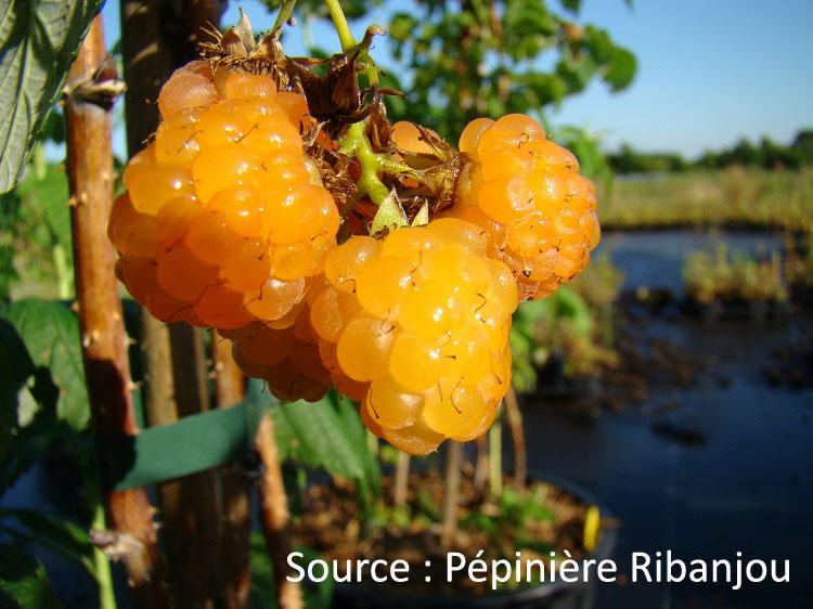 vieille variété 10 graines Chinese Giant-paprika-douce
